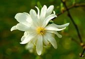 Star Magnolia Closeup