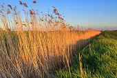 foto of nea  - Reed lit by late evening sun nea a ditch in Holland - JPG