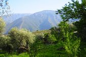 Mountain Over Olive Grove
