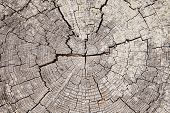 Driftwood Tree Rings With Cracks