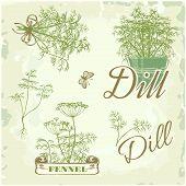 fennel, dill, herb, plant,