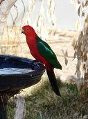 foto of king parrot  - king parrot  - JPG