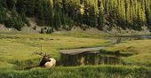 stock photo of deer horn  - male elk in colorado rocky mountains - JPG