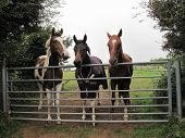 Horses By A Gate