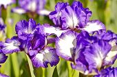 stock photo of dwarf  - Iris Dark Rings  - JPG
