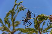 foto of baby spider  - Golden Orb Weaver Spider in it - JPG