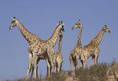 herd of giraffe