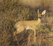 Steenbok in bushes