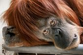 stock photo of orangutan  - Emotionally catching portrait of a beautiful orangutan looking directly into the camera - JPG