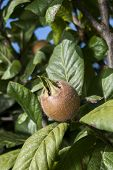 Fresh medlar fruit