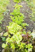 Lettuce on a Vegetable Garden Ground