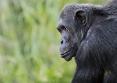 stock photo of chimp  - Portrait of a chimpanzee with room for text - JPG
