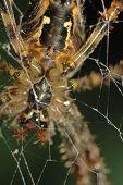 Spider (araneus Diadematus)