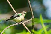 Young Male Beautiful Sunbird