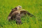 Eating Lanner Falcon On The Ground