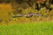Flying Red-tailed Hawk