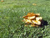 Jack O Lantern Mushroom