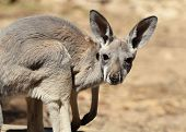 Red Kangaroo Baby
