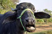 A Buffalo in India
