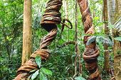 Lianas closeup winding through the rainforest.