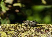 Summer Cicada