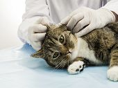 A veterinarian in the treatment of ear mites in a cat.