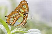 ������, ������: Bamboo Page or Dido Longwing butterfly on a leaf