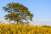 Rapeseed Field With Tree