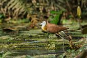 Young African Jacana In Full Stride