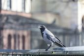 Hooded Crow Sitting On A Hand Rail