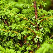 Green Juniper's Berries