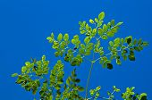 stock photo of moringa  - Looking up at the leaves at the top of a young moringa tree used for alternative medicine - JPG