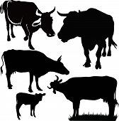foto of calf cow  - Cow a calf animals it is isolated on a white background - JPG