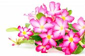 pic of desert-rose  - Blossom red flower Desert Rose - JPG