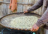 coffee beans in threshing basket