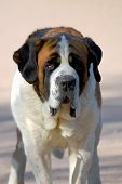 St.Bernard Dog.