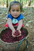 little girl with coffee berries in her hands