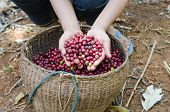 picture of coffee crop  - fresh robusta coffee berries in boy - JPG