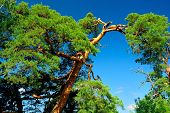 Pine-tree in a queer form against the background of a blue sky on a sunny day