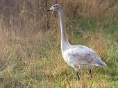 Young wild swan