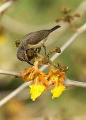 Female Beautiful Sunbird Piercing A Flower For Nectar