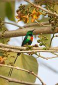 Male Beautiful Sunbird (nectarinia Pulchella)