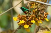 Male Beautiful Sunbird Perched On A Cluster Of Yellow Flowers