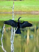Female Anhinga Wings Spread Wide Open