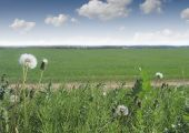 Taraxacum Officinale,  Green Grass And Nlue Sky