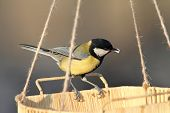 stock photo of great tit  - great tit  - JPG