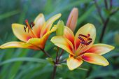 picture of day-lilies  - Yellow lily in summer garden sun day - JPG
