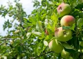 image of apple orchard  - Apples on a tree branch - JPG