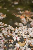 Sakura blossom petals falling on the water at Kyoto with nobody