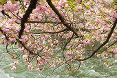 Sakura grown in the shore in Kyoto.